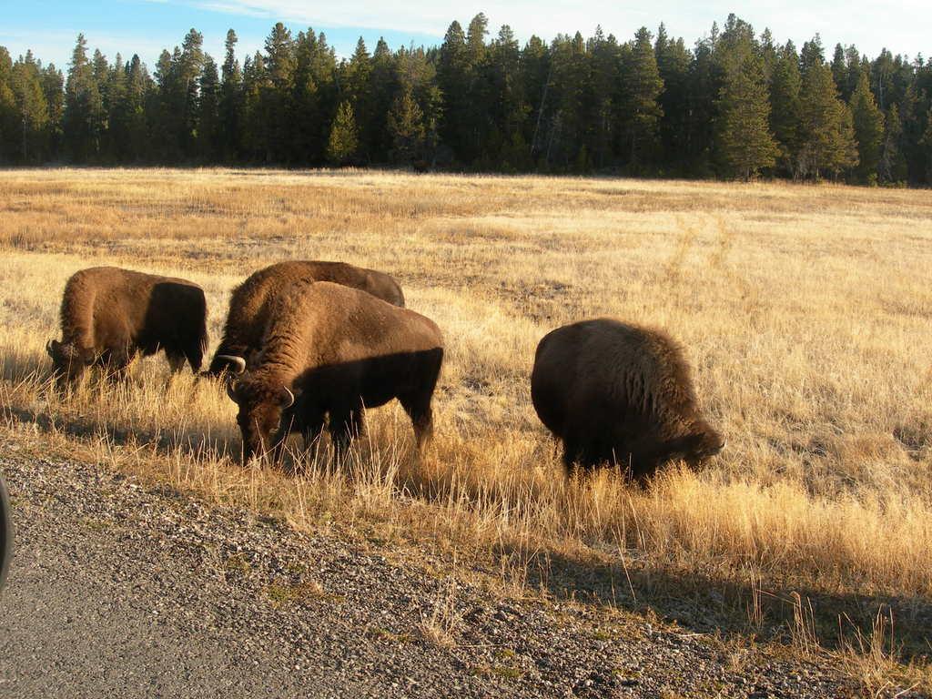 Бизоны у дороги в Йеллоустоуне.
