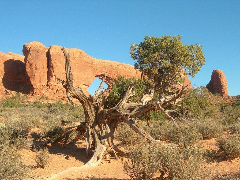 Противотанковое дерево в штате Юта