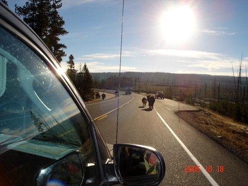 Бизоны на дорогах Йеллоустоуна