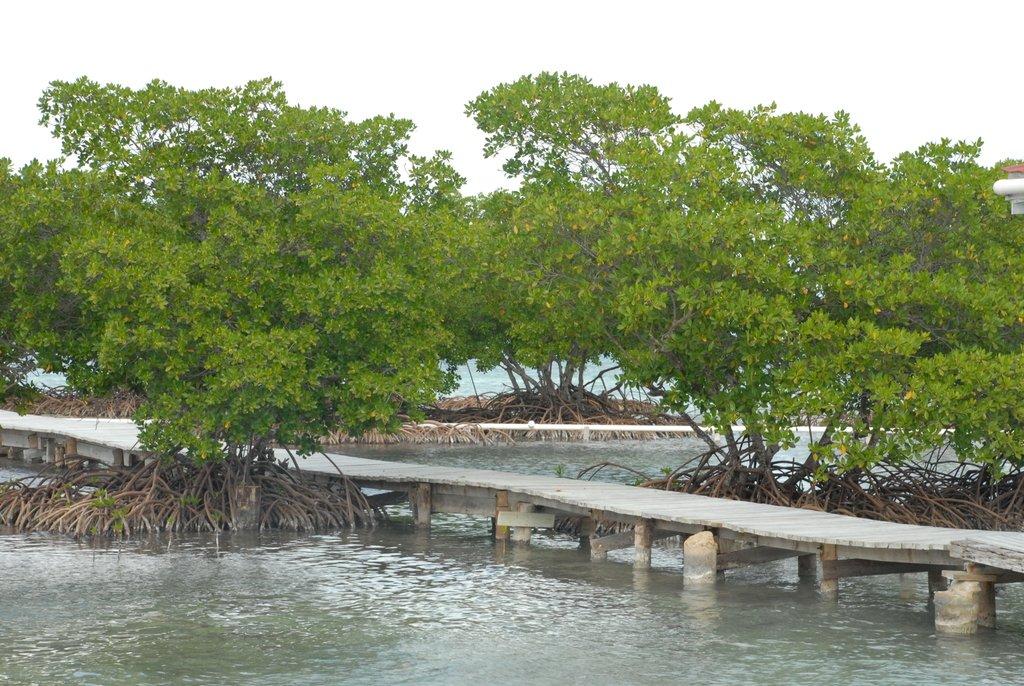 В Белизе деревьям запретили ходить по дорожкам!                                                                                                              Вот они и бродят по колено в воде...