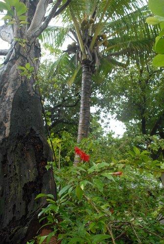 Кокосовые пальмы Гондураса