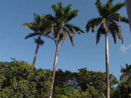 Корабельные пальмы на берегу реки