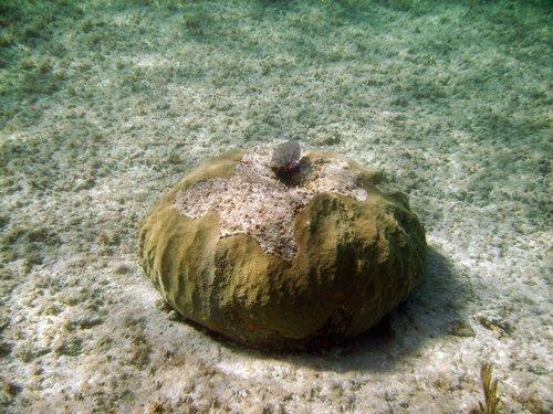Багамский беляшик
