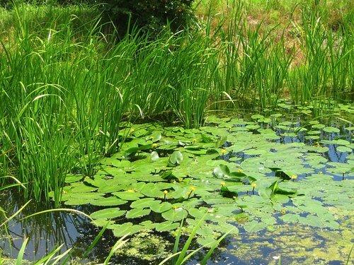 Желтые кувшинки на заросшем пруду