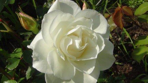 белая нежность