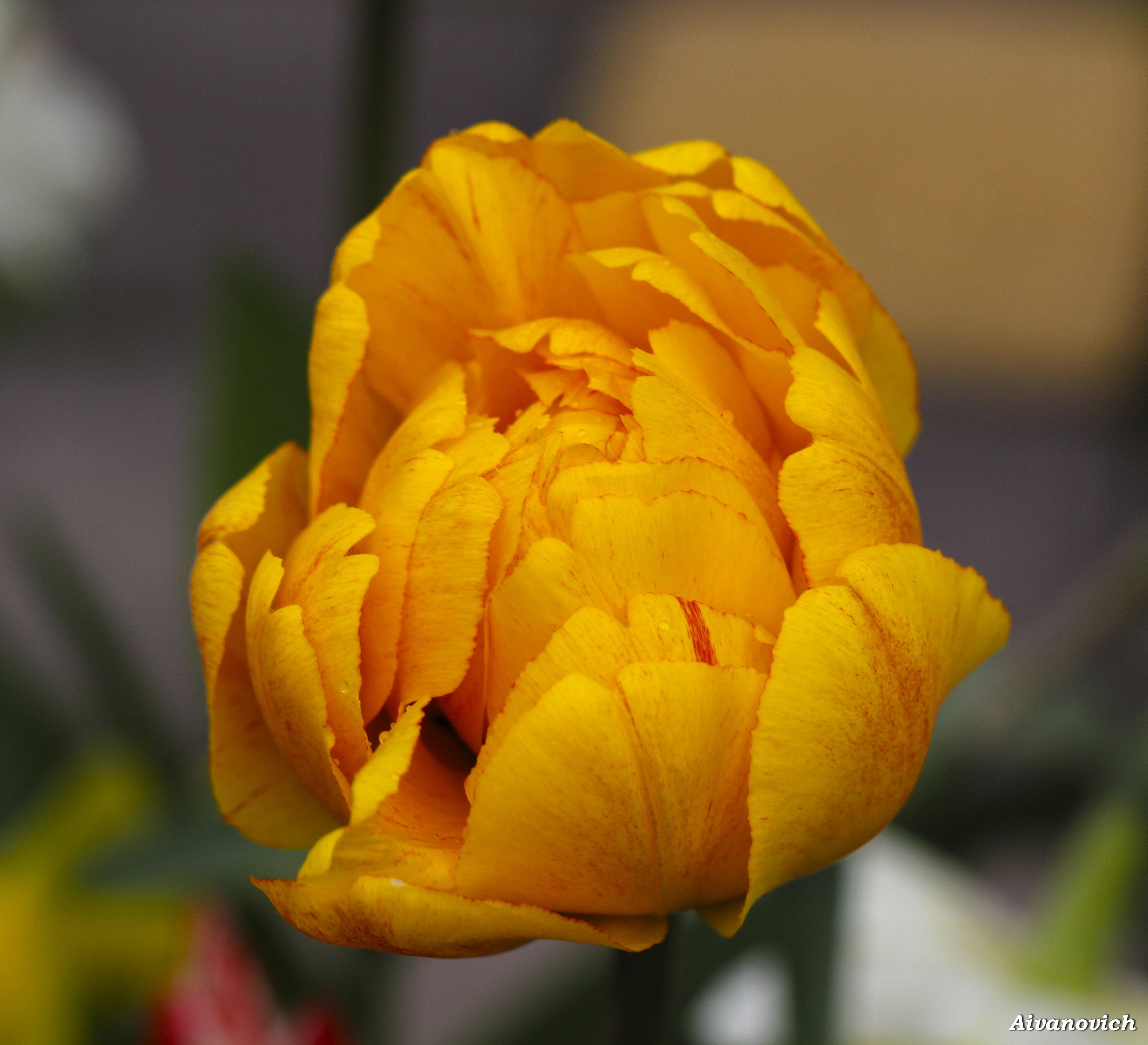 что многие золотые тюльпаны фото сайт музыки музло
