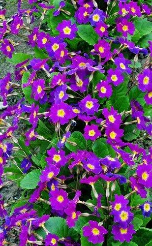 Многоцветие