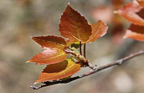 молодые листочки осины
