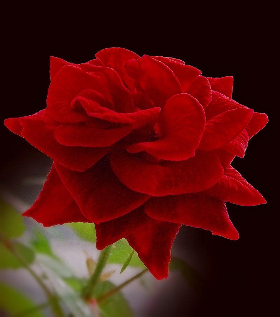 однокомнатной квартиры одна алая роза фото поиск завершиться