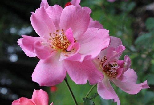 этюд с розовыми розами