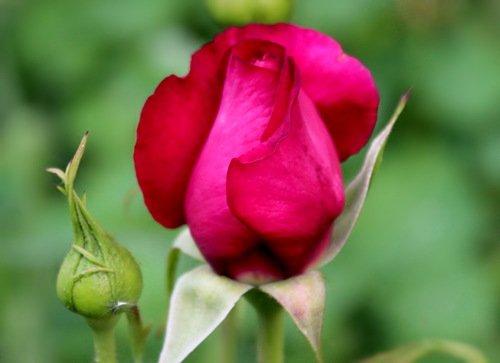 этюд с бутонами роз