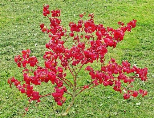 Красный кустик
