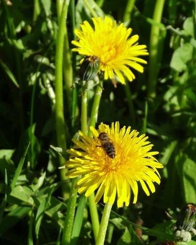 Одуванчик и пчелка