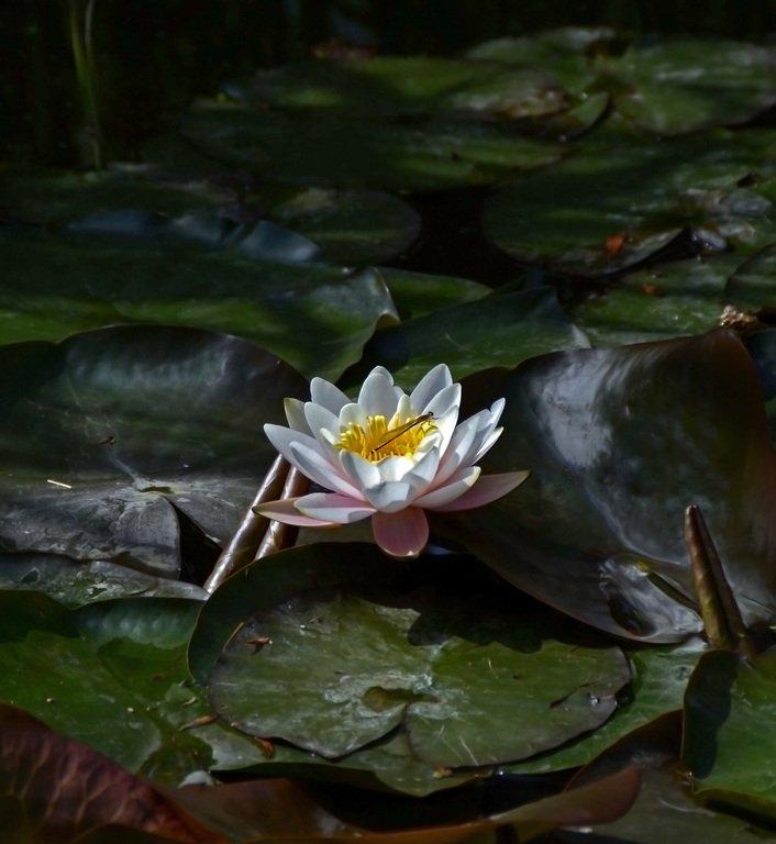 Стрекоза и лилия