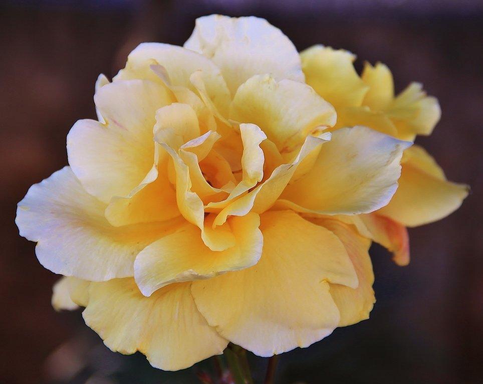 Роза городка Вилафлор