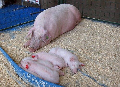 Свинское семейство