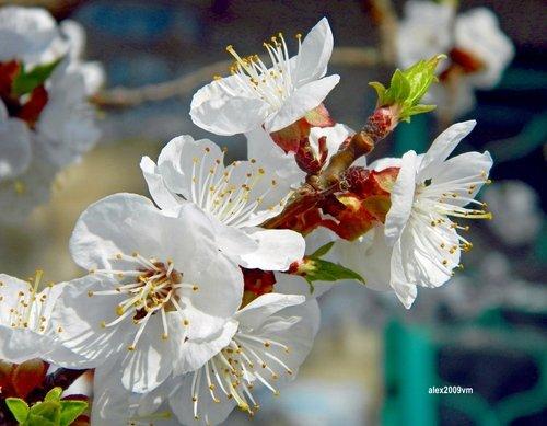 Такая нежность у цветения