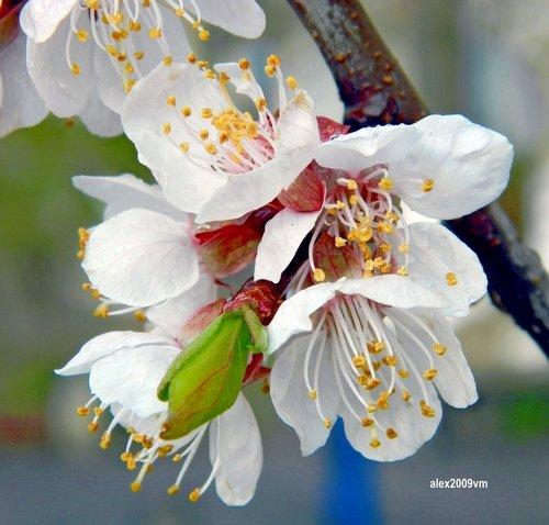 Такие чудные мгновения абрикосового цветения!