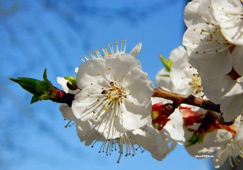 Аромат абрикосового цветения