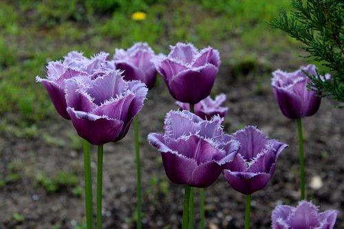 Редкого цвета тюльпаны