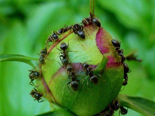 Сладкая планета муравьев