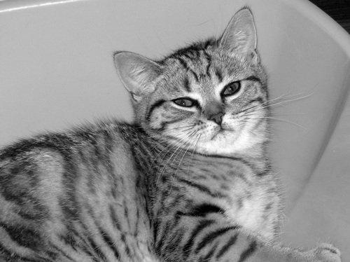 Кошка Бася