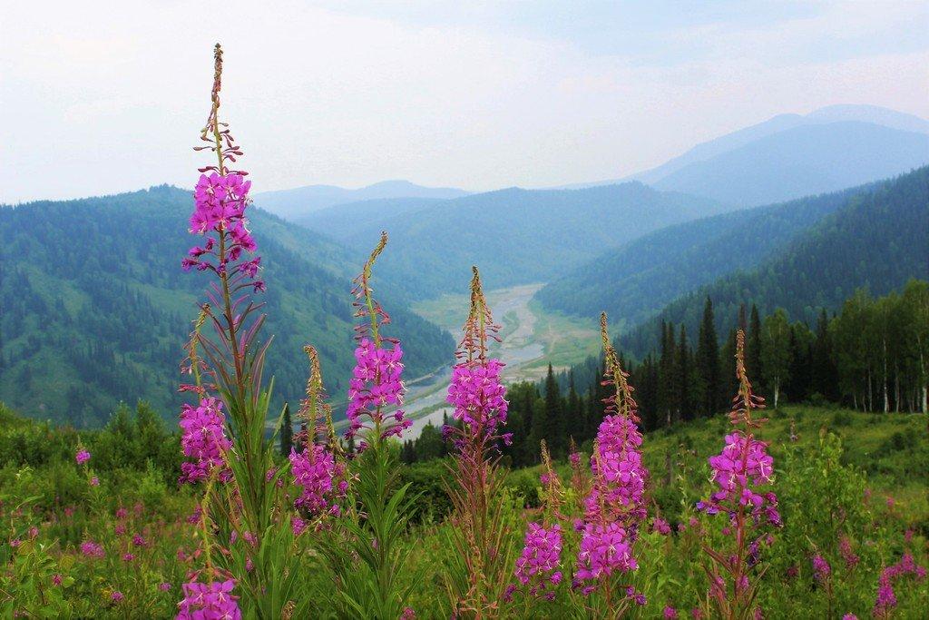 Иван-чай цветёт в июле