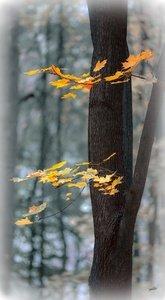 Блюз листьев кленовых