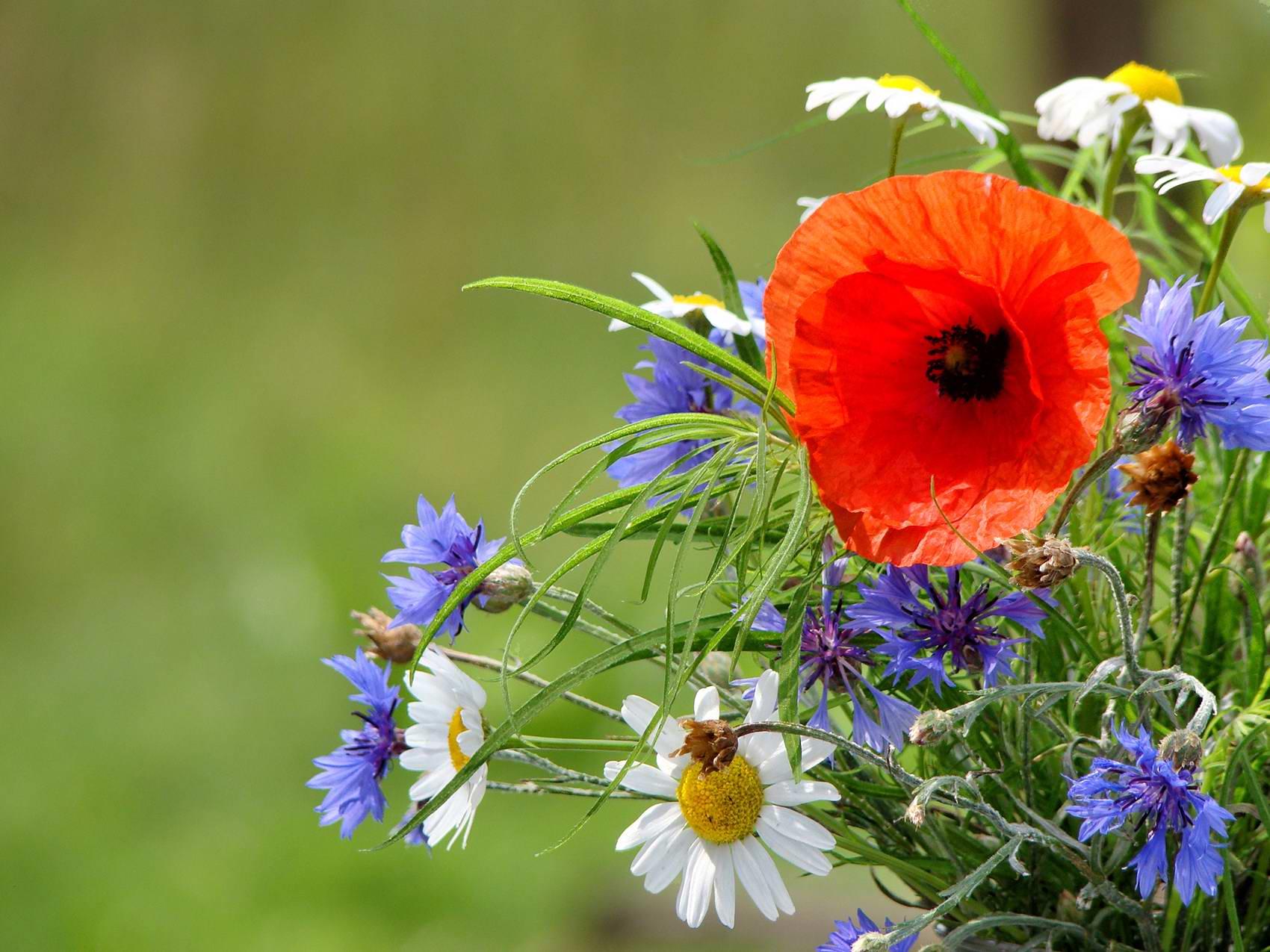 культурные фото картинки полевые цветы летом потроллил