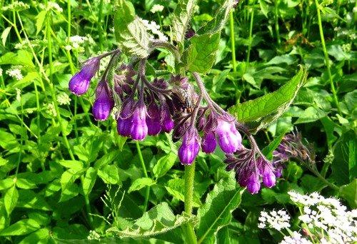 Фиолетовые цветы и муха