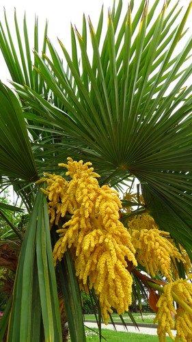 Пальма цветёт