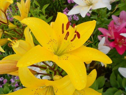 Нежные лилии дарят мечту