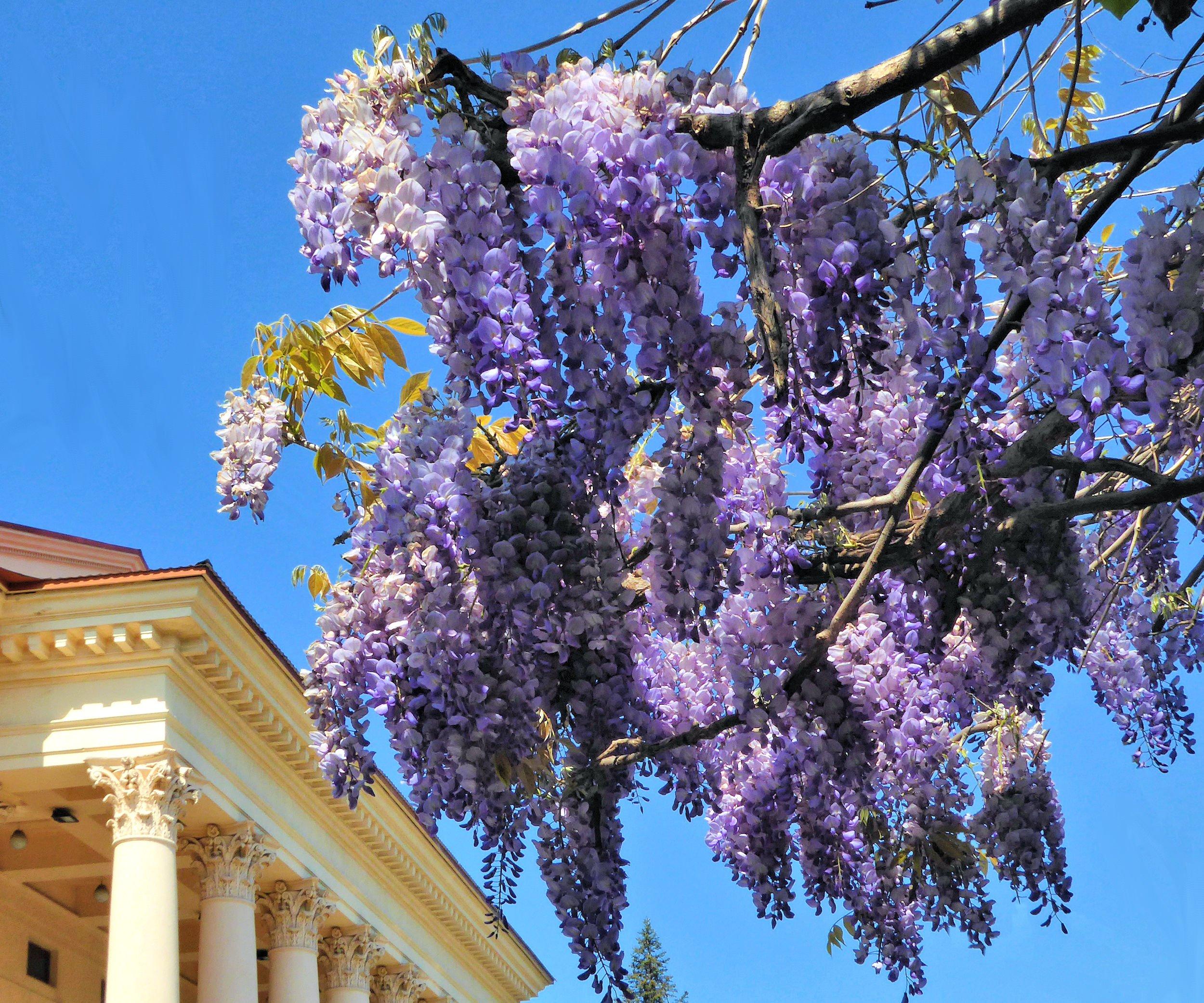 паневежиса содержит цветущие деревья в сочи фото что делать, если