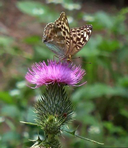 бабочка на репейнике