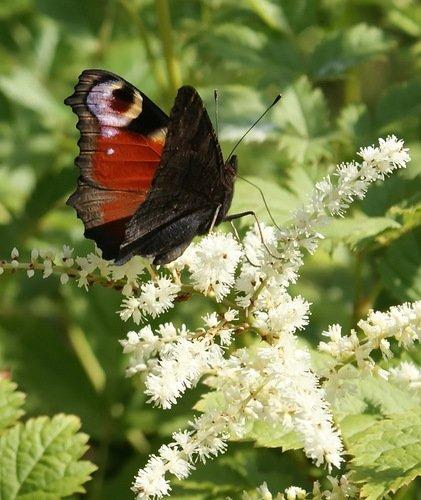 бабочка на астильбе