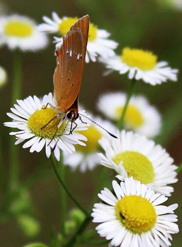 этюд с бабочкой и ромашками