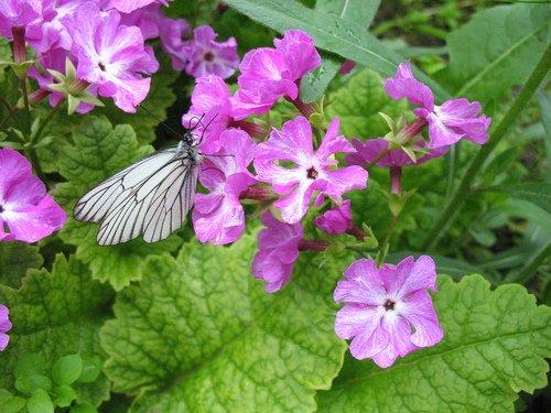 Примула с бабочкой