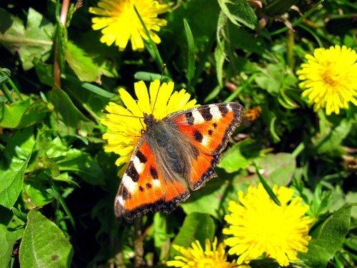 Бабочка и одуванчики