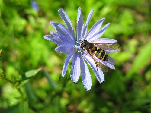 Цветок цикория с мухой журчалкой