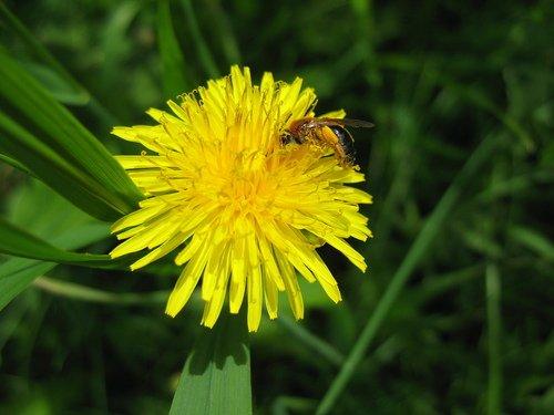 Одуванчик источник пыльцы и нектара!