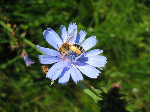 Цветок цикория с пчелой