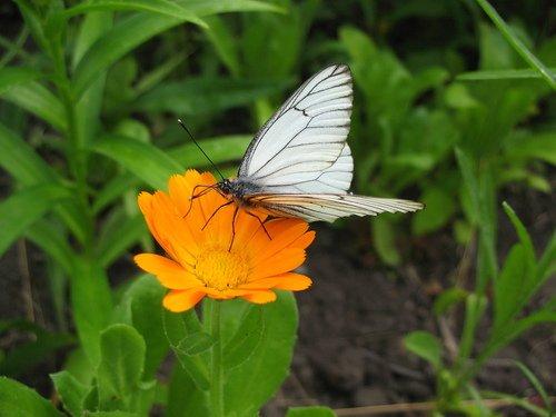Календула с бабочкой