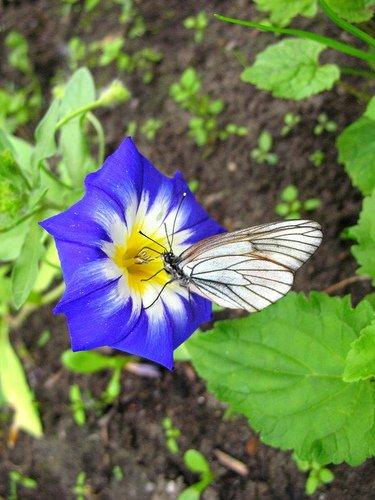 Вьюнок трёхцветный с бабочкой