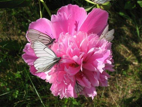 Пион с бабочками