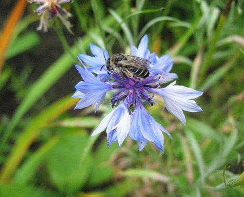 Василёк с пчелой