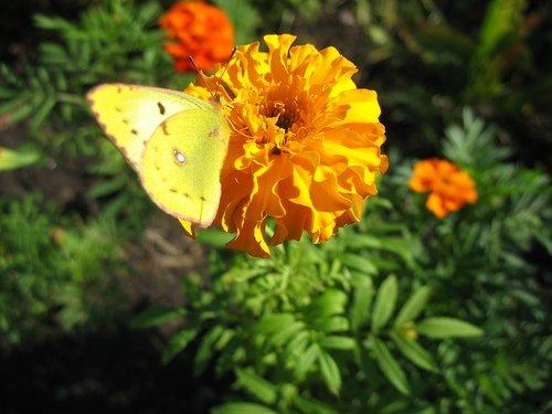 Жёлтый бархатец и бабочка желтушка