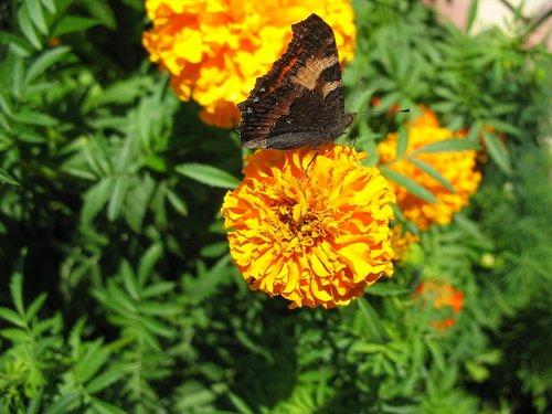 Бабочка и бархатцы