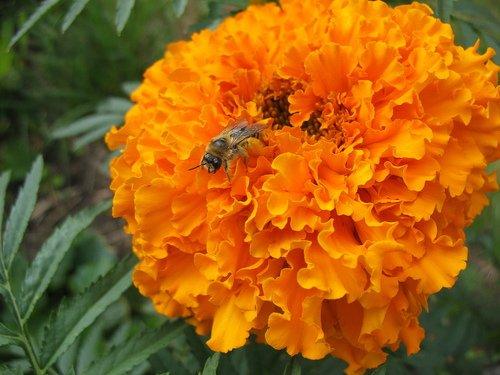 Маленькая пчёлка захватила большой цветок