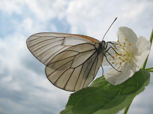 Цветок жасмина с бабочкой