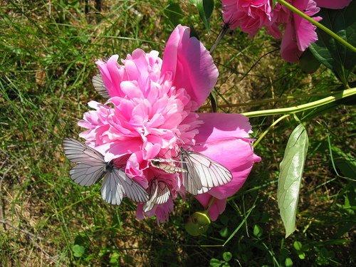 Розовый пион с бабочками